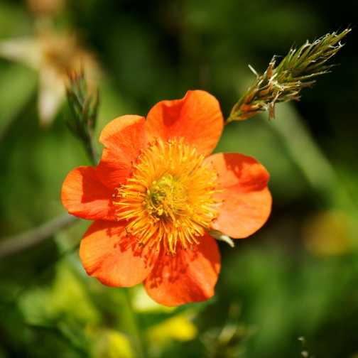 Flowers - Red Avens