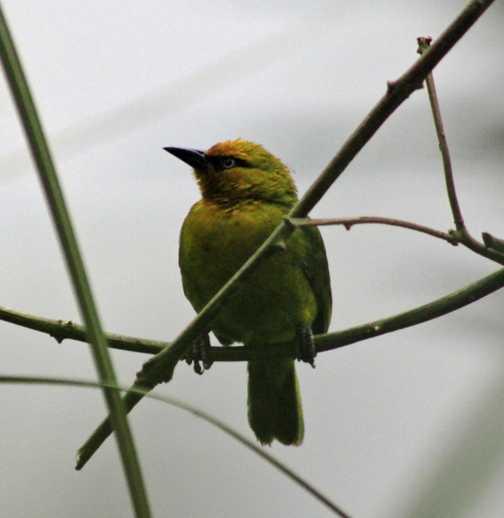 Weaver birds at Bunyoni