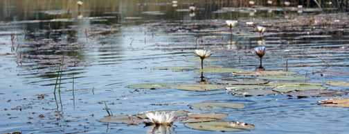 Waterlillies in the Okavango Delta