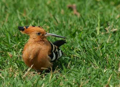 Hoopoe spotted in the grounds of the camp-site at Lake Naivasha, Kenya