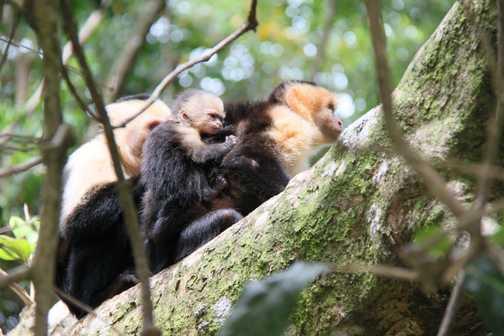 capuchin monkey family Manuel Antonio NP