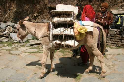 Hens by donkey