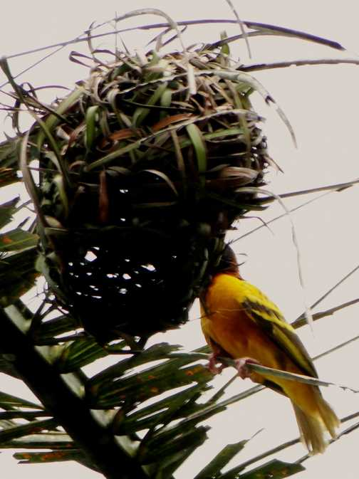 Village Weaver Bird