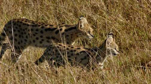 Serval and kitten