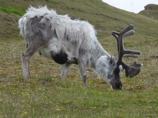 Reindeer moulting