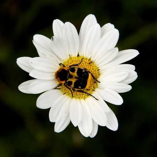 Bugs - Bee Beetle
