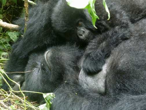 Youngfemale gorilla - Parc National des Volcans