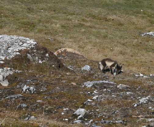 Arctic Fox eating egg