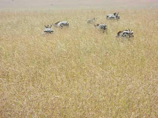 Serengeti ... unsuspecting zebra