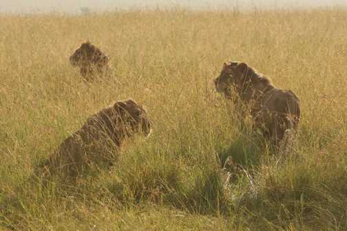 Male Lions in the long grass