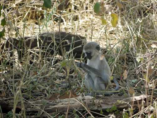 Velvet face monkey