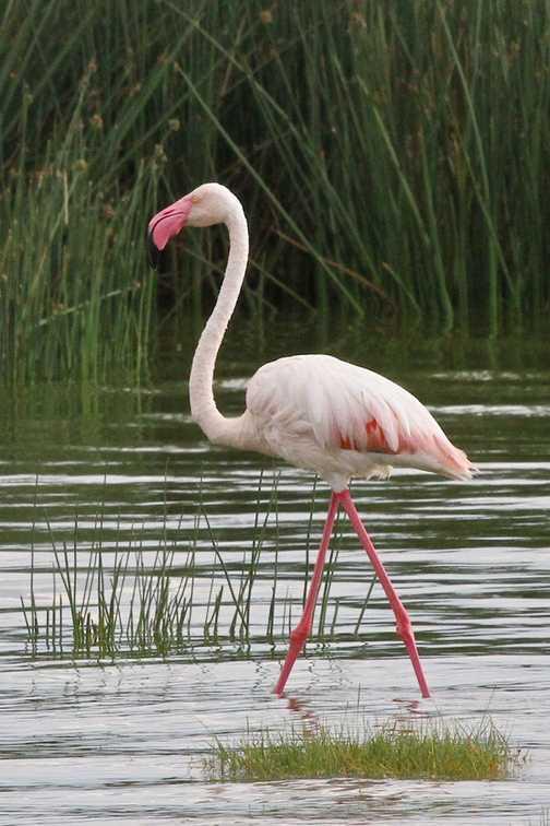 Flamingo, Lake Elmenteita
