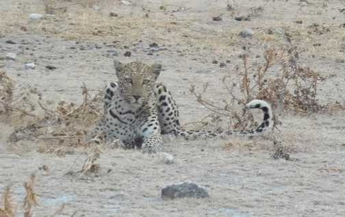 Spotted a Leopard
