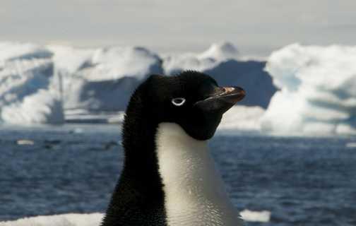 Adelie Penguin - Paulet Island - Antarctica
