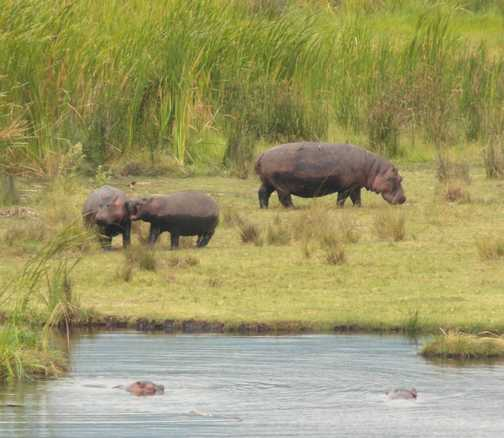 Ncorongoro crater .... hippo family