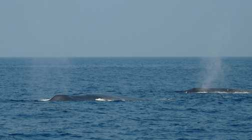 Two Blue Whales blowing