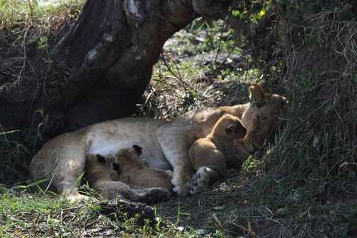 Lion cub, less than a day old suckling with it's two week old cousin