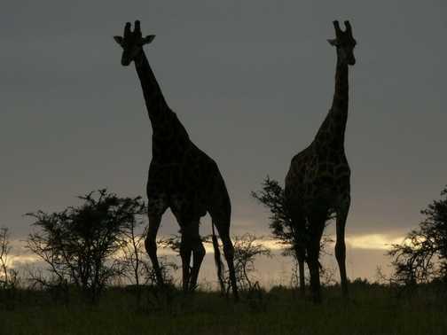 Pair of Giraffe