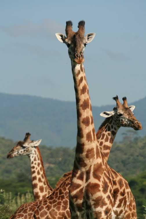 Meeting giraffes on foot