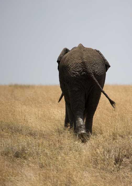 Lion, Ngorongoro Crater