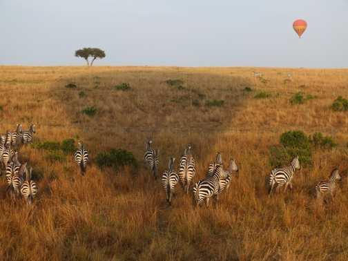 Our second Leopard, Maasai Mara
