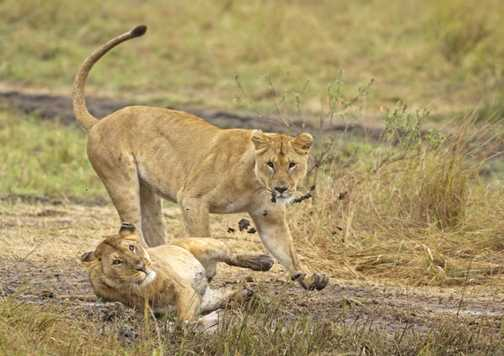 Lion PLay