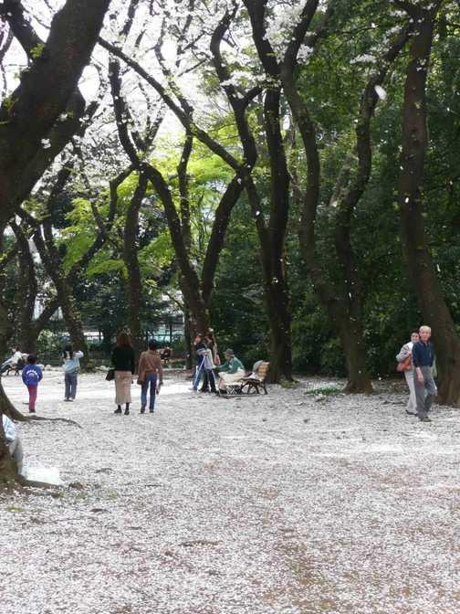 Cherry Blossom Snow, Tokyo