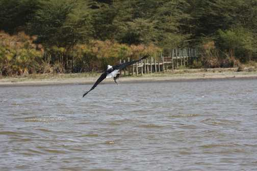 Fish Eagle c