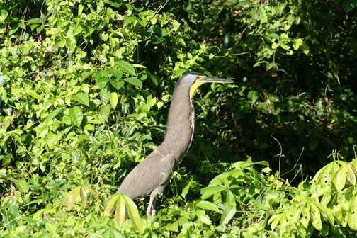 Heron in Tortaguero NP