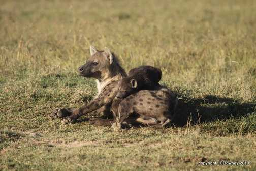 Hyena cubs are cute!