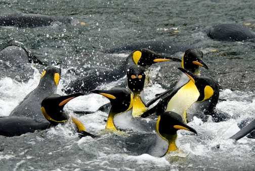Auckland Isle : King Penguins