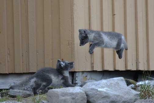 Arctic fox cubs - big air