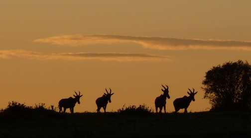 Hartebeests at Dawn