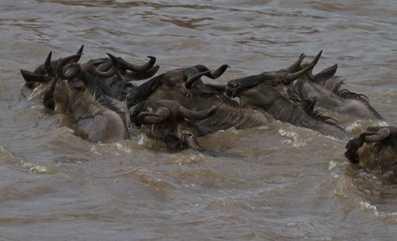 Stuggling across the Mara River.