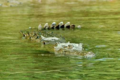 Crocodile in the Rio Tenorio