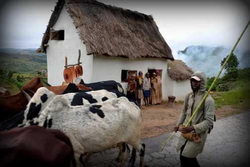 Herding Zebus