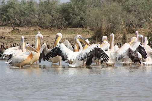Pelicans in Djoudj NP
