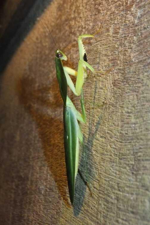 Leaf Mantis - Golfito