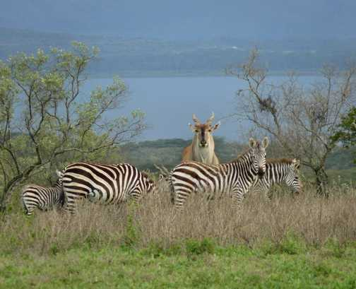 Eland and Zebra at Loldia