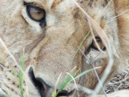 Ncorongoro crater ..... another lion pic... as we didnt see a leopard!