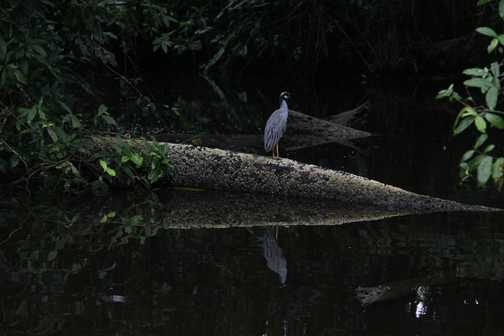 blue heron in Tortuguero NP