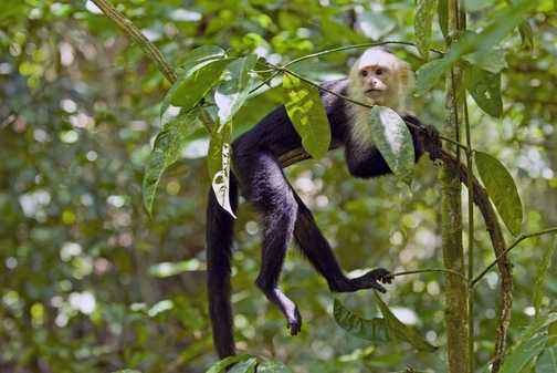 White faced capuchin sitting in a tree...
