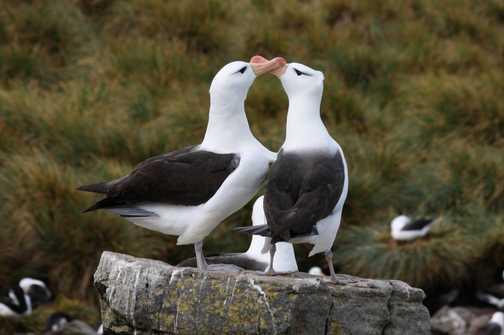 Antarctic Tern: Erebus and Terror Gulf - Antarctica