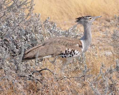 Birdlife within Etosha NP