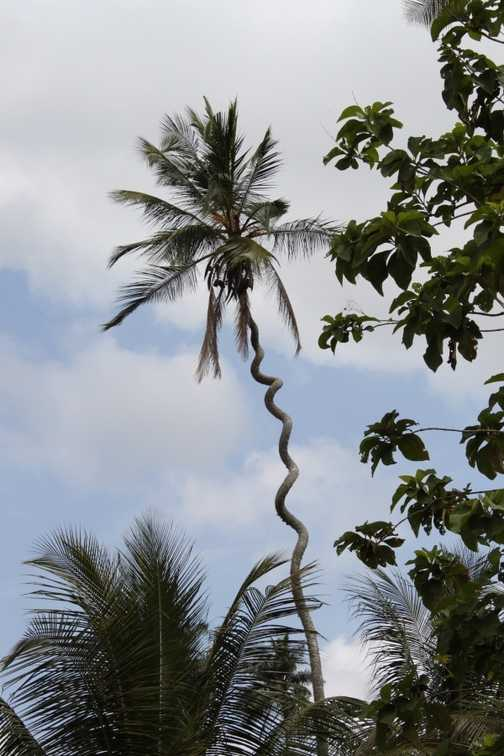 twisty palm - Zanzibar