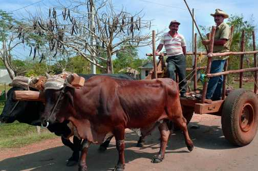 Oxen and cart