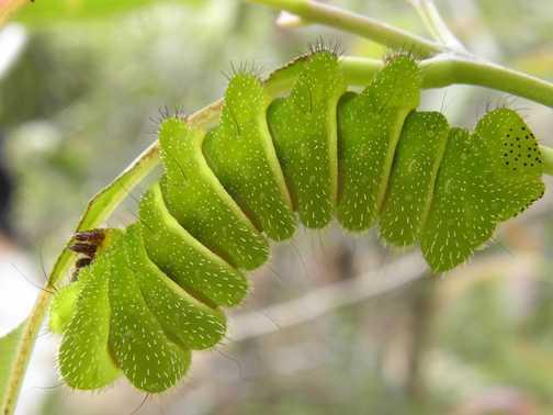 Giant caterpillar
