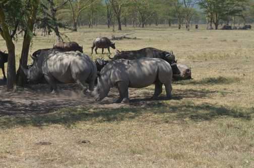 Rhino sharpening horn