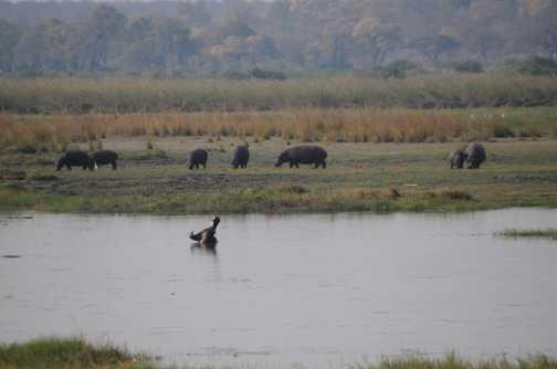 Hippos, Kavango River