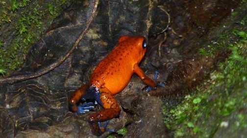 Blue Jean Frog